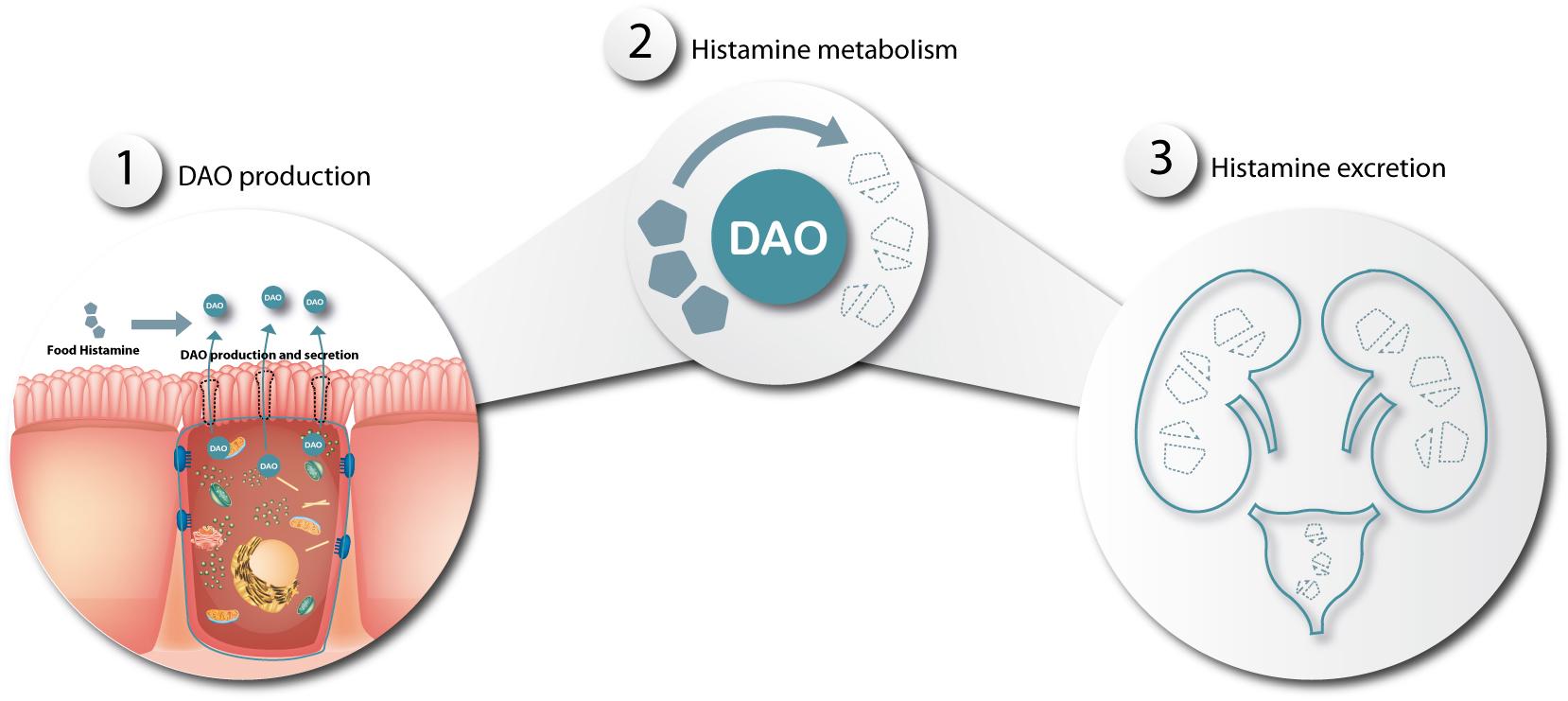 histamine metabolism in dao deficiency diamine oxidase